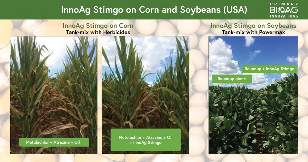 Image depicting difference in Vegetative growth in Soyabean and less firing in Corn with the use of InnoAg Stimgo.